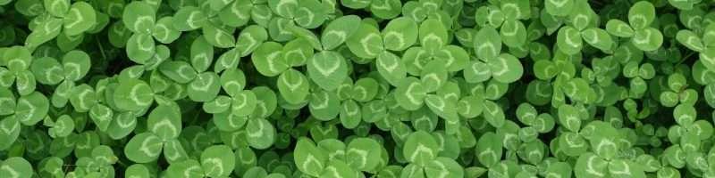 green clovers nature